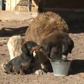 Dachshund Helps Save Best Friend St. Bernard Stuck In Two Feet Of Mud