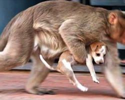 Monkey Snatches Abandoned Puppy Off Streets, But Nobody Could Have Predicted The Reason Why