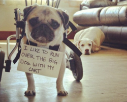 10 Photos That Prove Pug Shaming Is The Best Kind Of Dog Shaming