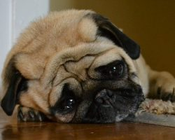 12 Realities New Pug Owners Must Learn To Accept
