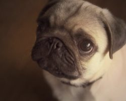 14 Most Frequently Asked Questions About Pugs