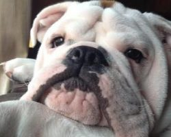15 Signs That Indicate You're A Crazy Bulldog Person… And Are Damn Proud of It!