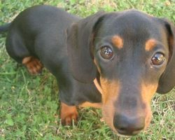 15 Signs That Indicate You're A Crazy Dachshund Person… And Are Damn Proud of It!