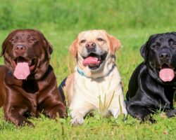 15 Signs That Indicate You're A Crazy Labrador Retriever Person… And Are Damn Proud of It!