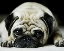 19 Reasons Why Pugs Are The Worst Dogs To Live With