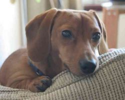 20 Things All Dachshund Owners Must Never Forget