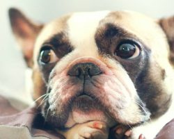 20 Things All French Bulldog Owners Must Never Forget. The Last One Brought Me To Tears…