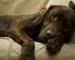 20 Things All Labrador Owners Must Never Forget. The Last One Brought Me To Tears…