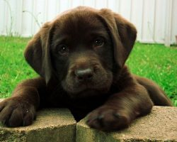 25 Reasons Why Labradors Are Actually The Worst Dogs To Live With