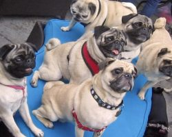 When They Threw A Dinner Party To Raise Money For Pugs In Need, They Never Expected THIS…