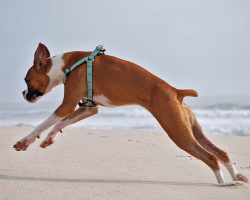 5 Easy Steps To Catching A Boxer Dog