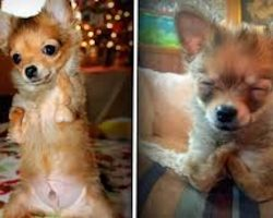 Rescued Chihuahua Born Without Front Legs Is Adorable Little Fighter