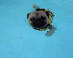 After Almost Losing His Rear Leg, This Rescued Pug Returns To Active Life Through Swimming!