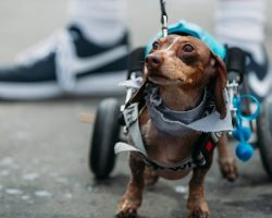 What Looks Like Any Other Wiener Dog Race Turns Into Something Special For One Dachshund