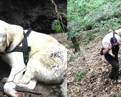 Blind Labrador Lost For A Week In The Mountains Waits For One Last Sign Of Hope