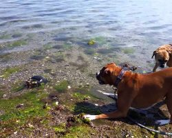 Boxer Meets Horseshoe Crab. Watch What Happens When These Two Unlikely Friends Meet