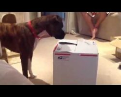 Boxer Investigates A Cardboard Box. He Definitely Was Not Expecting THIS.