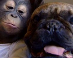 Orphaned Baby Orangutan Is Best Friends With A French Bulldog. Pure Love!