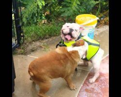 Bulldog Sister Is Afraid Her Brother Is Going To Drown… She Does THIS!
