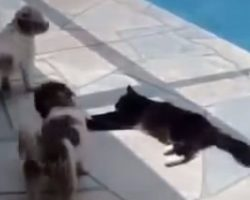 Cat is lying down near pool but is annoyed by the dogs, teaches the dogs a lesson