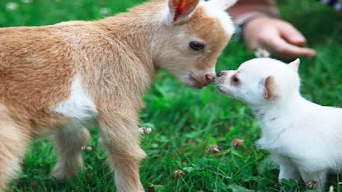 This Chihuahua Puppy Who Thinks Shes A Goat is Hilariously Adorable