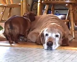 Dachshund And Golden Retriever Love Each Other Unconditionally