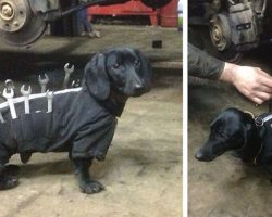 Dachshund Is The Cutest Assistant At Car Mechanic Shop