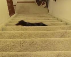 Cute Dachshund Climbs Stairs In Hilarious Way