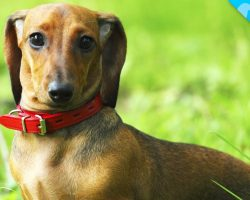 Look What we JUST Discovered about Dachshunds!