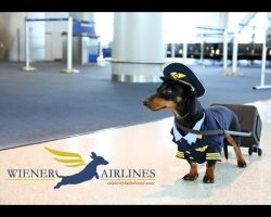 Dachshund Is The Most Adorable Pilot In The Sky