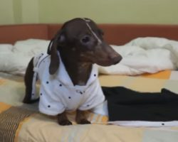 Dachshund Gets Wet After Bath. How He Dries Off Will Make Your Day!
