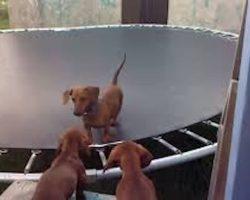 Cute Dachshund Bounces On Trampoline As His Buddies Cheer Him On