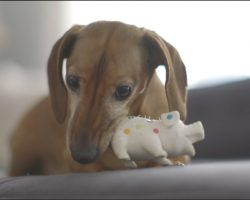 [Video] Dachshund Reunites With His Favorite Toy From Puppyhood And His Reaction Is Beyond Adorable