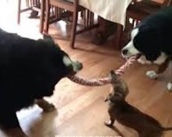 15-Year-Old Dachshund Goes To Battle In Epic Tug-Of-War Against Two Bernese Mountain Dogs