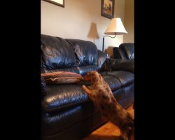Dachshund Comes Up With Ingenious Plan To Get Onto Couch