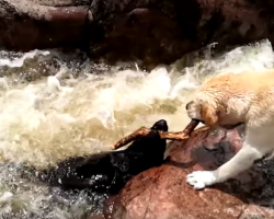 [Video] Dog saves friend from drowning in raging river rapids