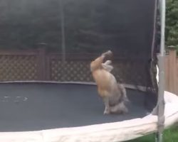 English Bulldog Bouncing Around Freely On A Trampoline
