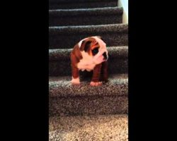 English Bulldog Puppy Conquers The Stairs! Just Wait Until The Very End!