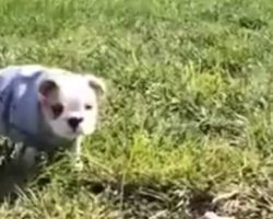 English Bulldog Puppy Rolls Down A Hill, And Is The Happiest Pup Ever!
