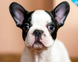 Look What we JUST Discovered about French Bulldogs!