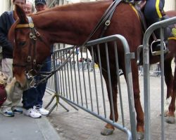 French Bulldog Meets NYPD Police Horse. Watch What Happens!