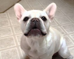 This French Bulldog's Little Rant Is The Most Adorable Rant I've Ever Seen.