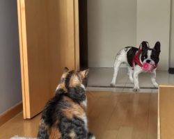 French Bulldog Desperately Tries to Play with Cat. What a Pair…