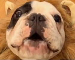 This Adorable French Bulldog Thinks He's A Lion And Tries To Sing The Song Of His People! LOL!