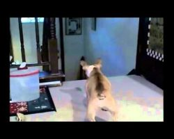 French Bulldog Picks A Fight With The Wrong Cat
