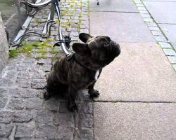 Tied Up And Left Alone, This French Bulldog Has HAD IT And Gives A Piece Of His Mind (In Frenchie Language)