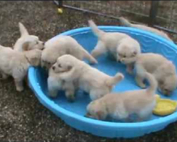 5 week old golden retriever puppies are really mad over THIS!