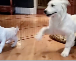 Golden Retriever Puppy Can't Contain His Excitement Of Meeting A New Baby Goat Friend