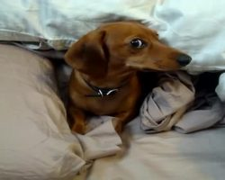 Grumpy Dachshund Doesn't Want To Get Out Of Bed And Lets His Human Know It