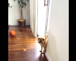 How This French Bulldog Reacts When He's Asked Who Chewed Up Mommy's Pen Is PRICELESS!